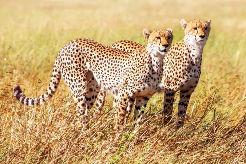 小组猎豹在非洲大草原寻找 闹事 坦桑尼亚 Serengeti国家公园 免版税库存图片