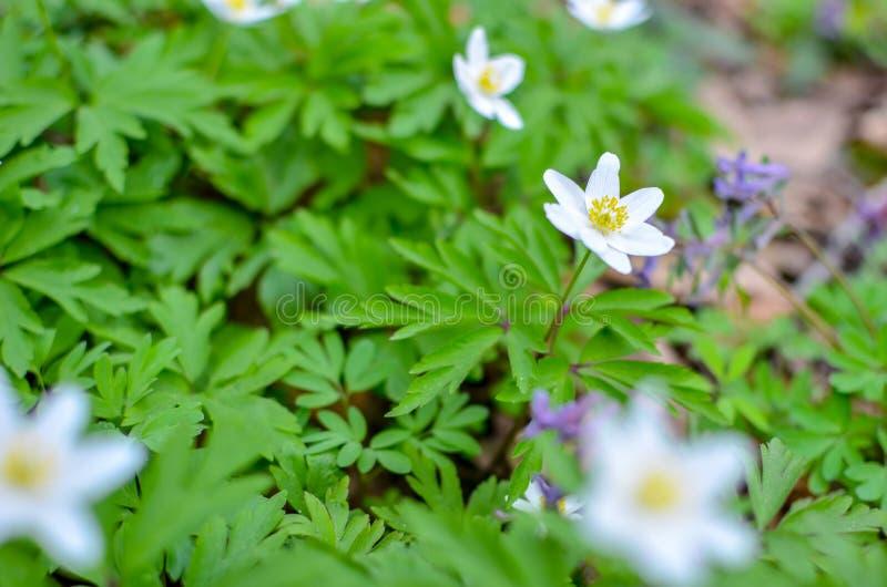 小组白色开花的银莲花属Ranunculoides在春天森林里 免版税图库摄影