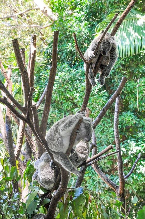 小组睡觉在树的树袋熊 免版税库存照片