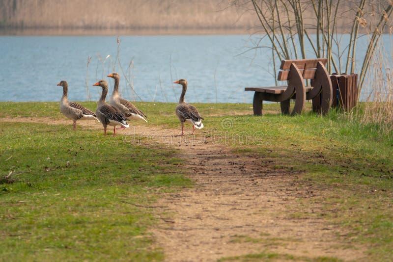 小组站立在道路和喋喋不休的灰雁 免版税图库摄影