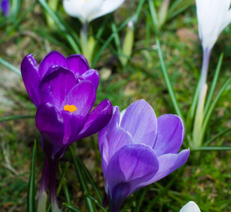 小组第一春天开花-紫色番红花开花外面 库存照片