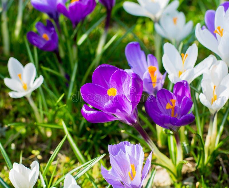 小组第一春天开花-紫色番红花开花外面 免版税图库摄影