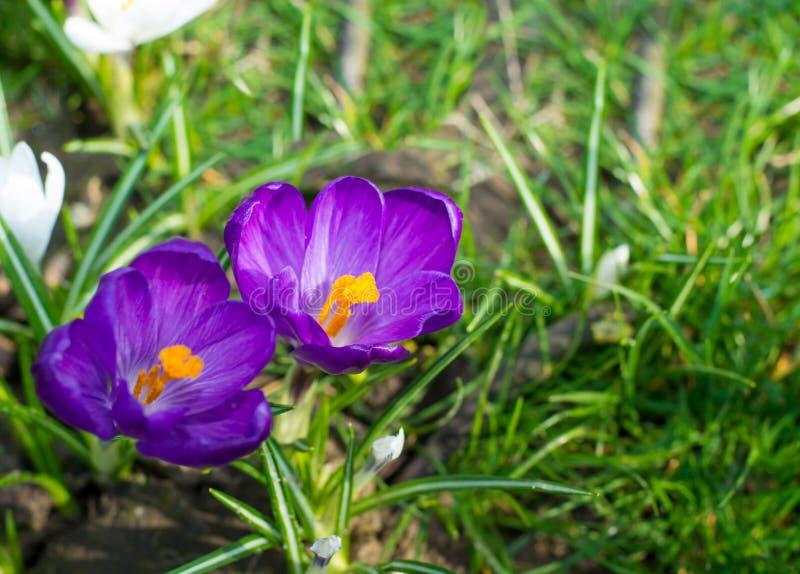 小组第一春天开花-紫色番红花开花外面 免版税库存照片
