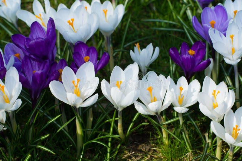 小组第一春天开花-紫色番红花开花外面 库存图片