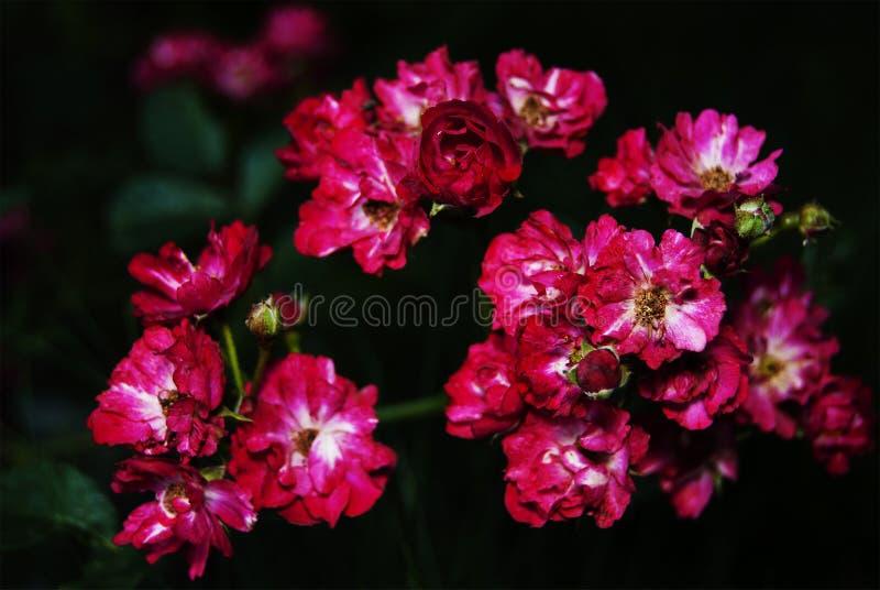 小组红桃红色颜色小庭院玫瑰  免版税库存图片