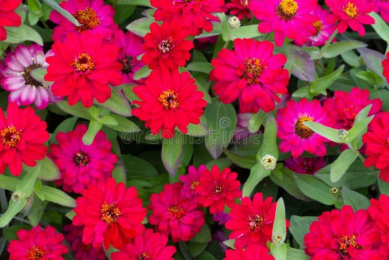 小组红色和lila flowes 图库摄影