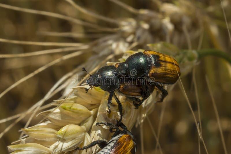 小组联接在粮田的面包甲虫 库存图片