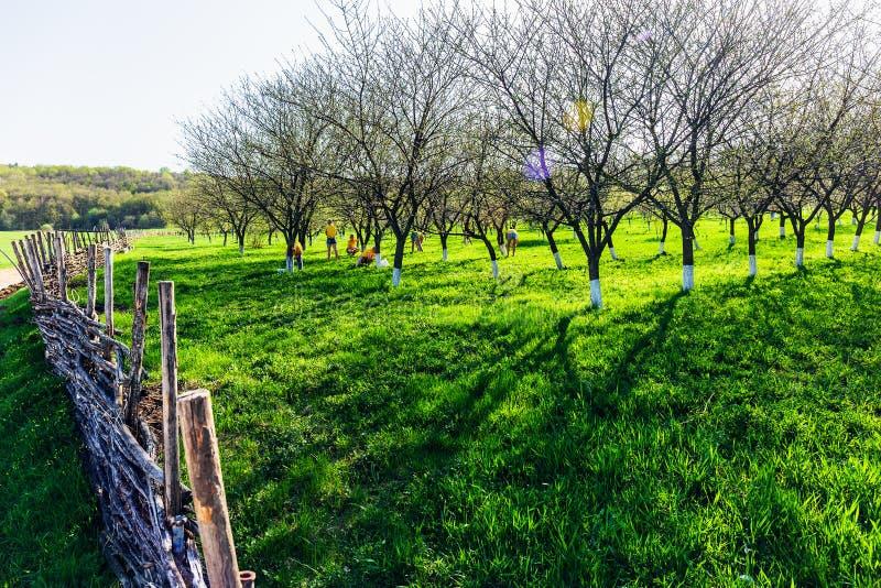 小组花匠工作者火焰樱桃树椴树树干在绿色庭院里在春日 免版税库存图片