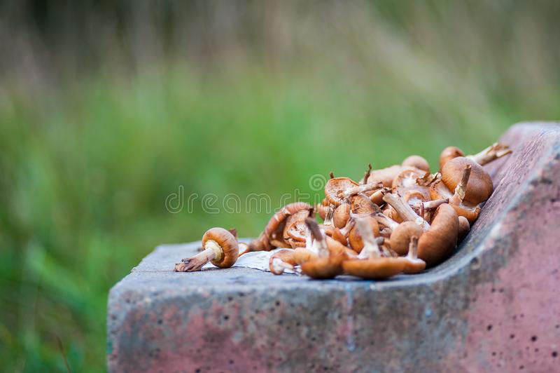小组被日光照射了蘑菇-柠檬生长在一个老树桩的蚝蘑在森林里 免版税库存图片