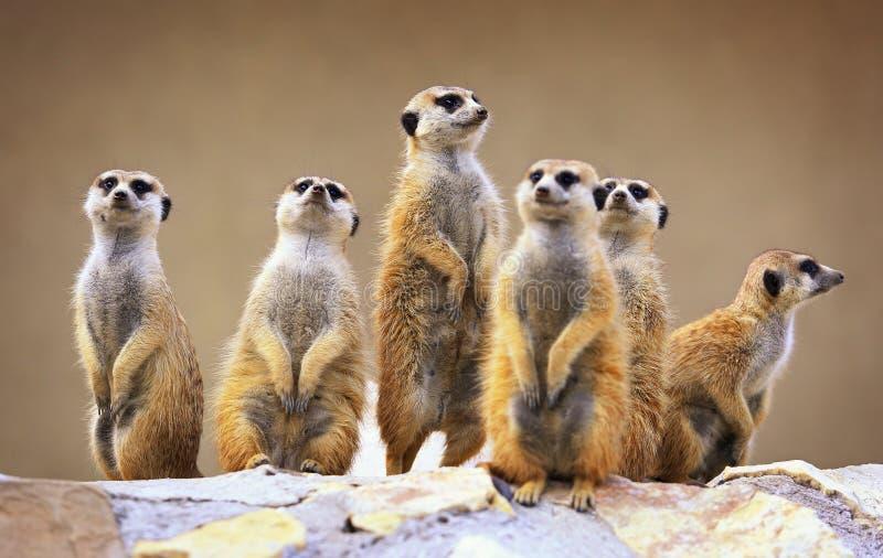 小组观看的surricatas 库存照片