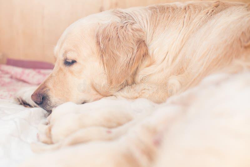小组逗人喜爱的新出生的米黄金毛猎犬小狗有从妈妈的牛奶 妈妈狗有与她的小狗的一点休息 免版税库存照片