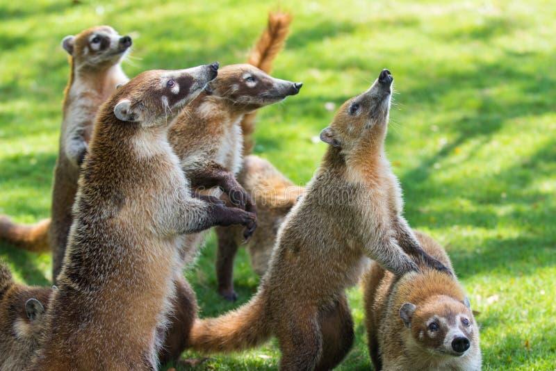 小组逗人喜爱的白色被引导的浣熊画象,美洲浣熊narica,乞求为食物,与和看与滑稽的一台照相机战斗 库存图片