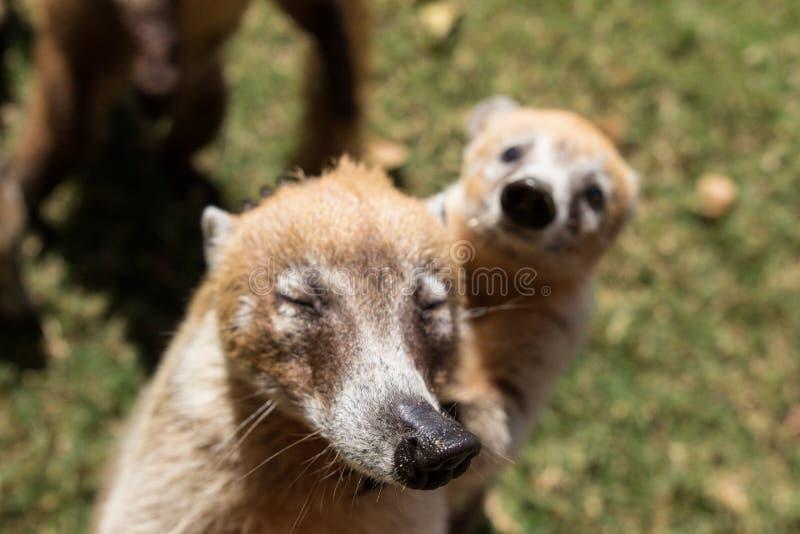 小组逗人喜爱的白色被引导的浣熊画象,美洲浣熊narica,乞求为食物,与和看与滑稽的一台照相机战斗 免版税库存图片