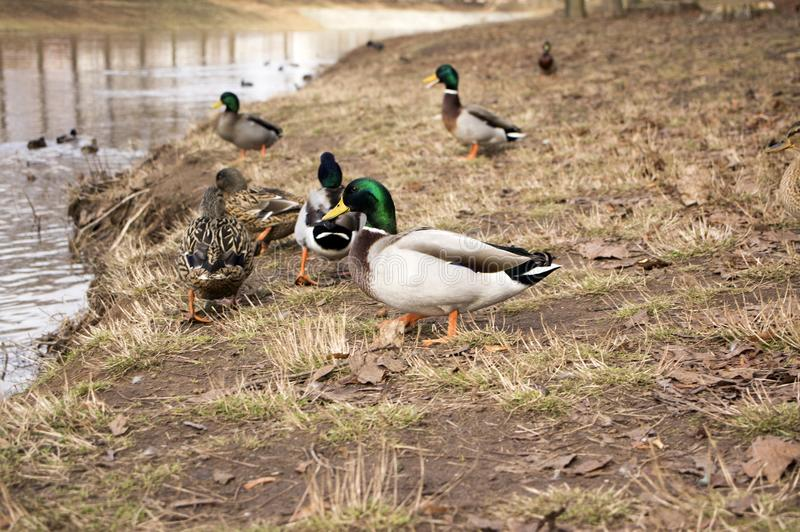 小组野鸭,在河岸的野鸭 免版税库存图片