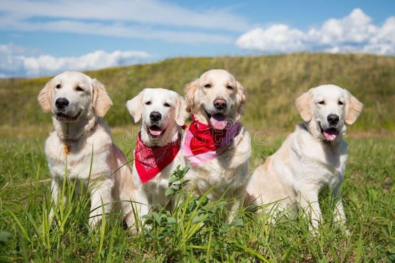 小组金毛猎犬在晴天尾随摆在领域 免版税库存照片