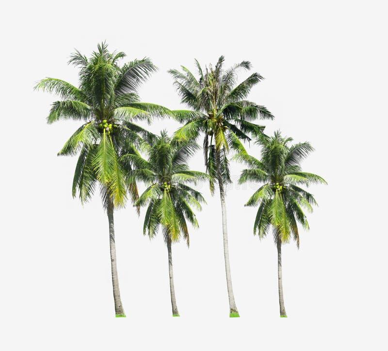 小组长大在海海滩的可可椰子树在泰国南部的普吉岛海岛在白色背景隔绝了 库存图片
