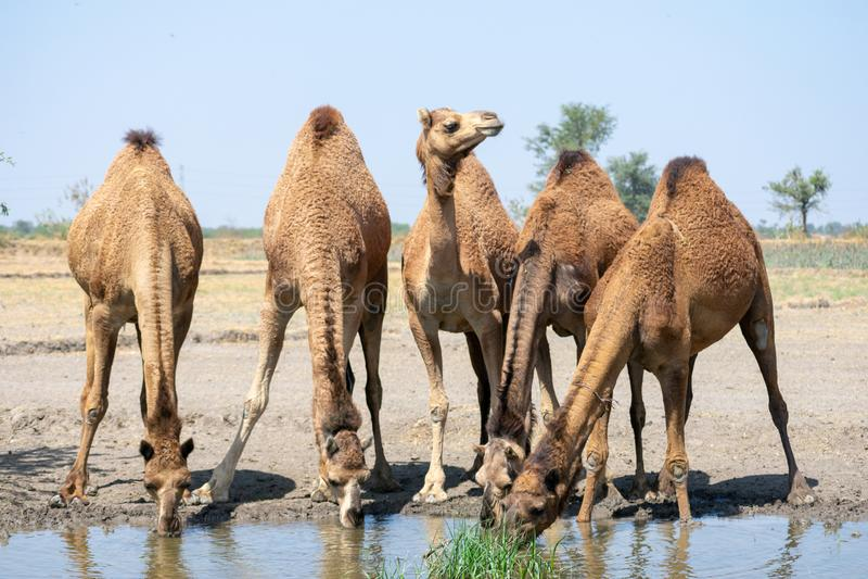 小组骆驼照片 免版税库存照片