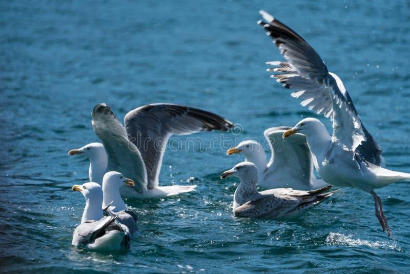 小组鲱鸥鸥属argentatus游泳和飞行 免版税图库摄影