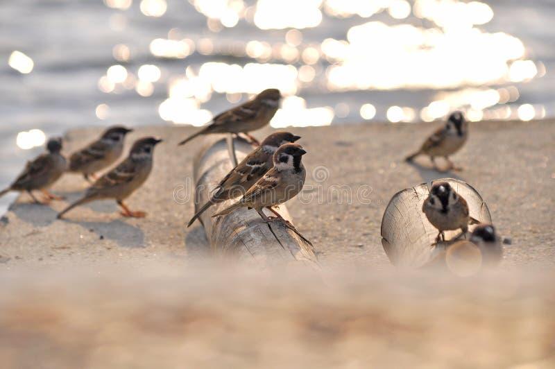 小组鸟欧亚树Sparow 库存照片
