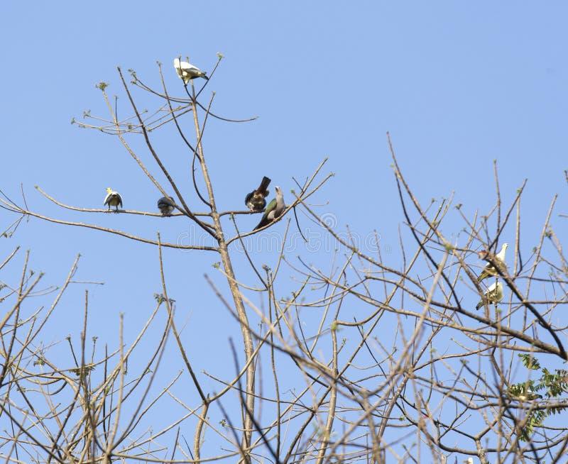 小组鸽子在北部苏拉威西岛 库存照片
