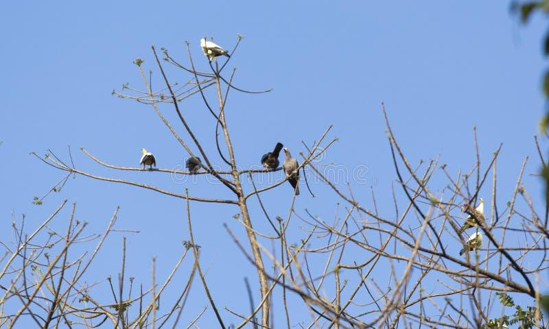 小组鸽子在北部苏拉威西岛 库存图片