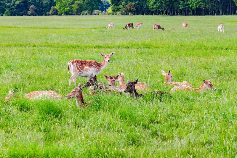 小组鹿,领域和树在菲尼斯停放 免版税图库摄影