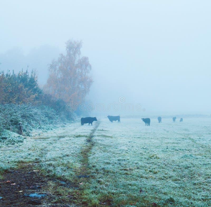 小组黑母牛在有薄雾的草甸 免版税图库摄影