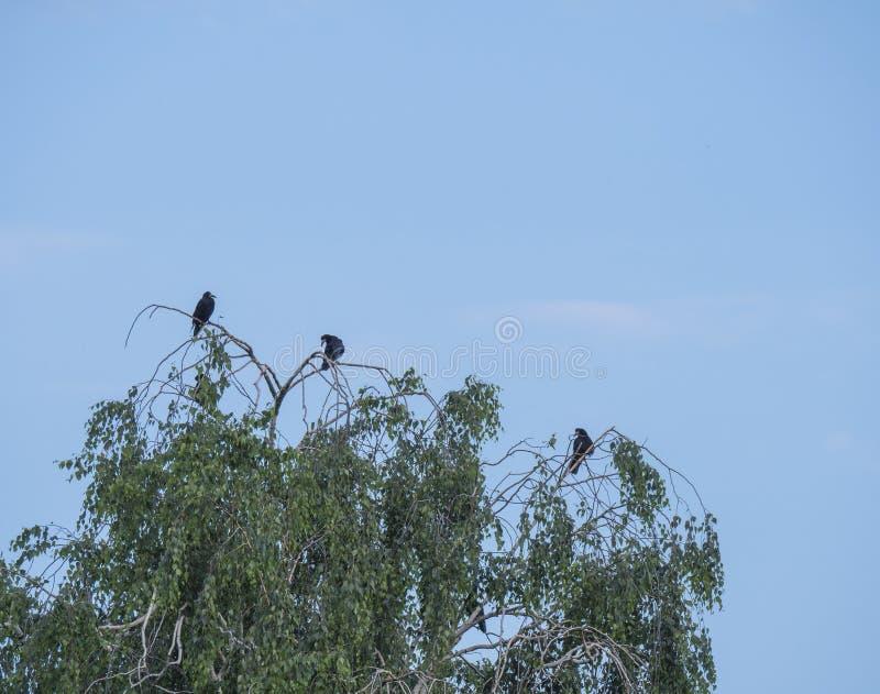 小组黑鸟,白嘴鸦乌鸦座frugilegus坐桦树分支反对天空蔚蓝,拷贝空间 免版税图库摄影