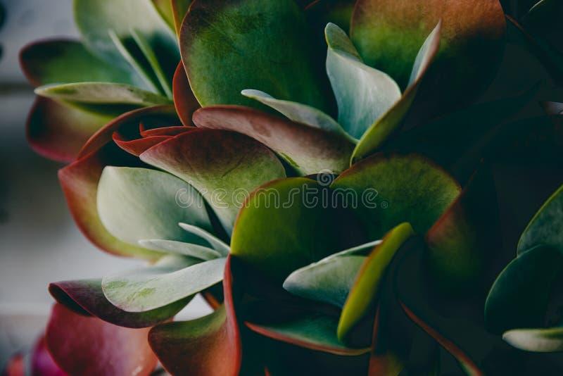 小组Kalanchoe和多汁植物 免版税库存照片