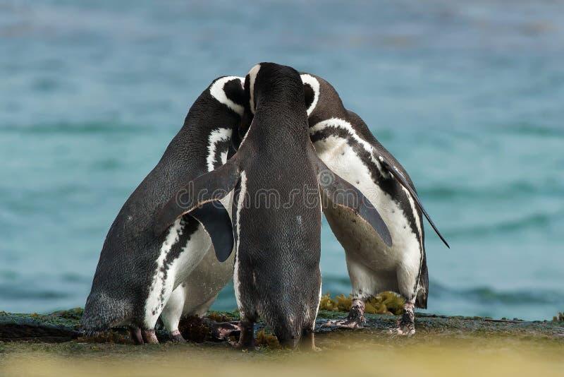 小组Magellanic企鹅在岩石海岸一起会集 库存照片