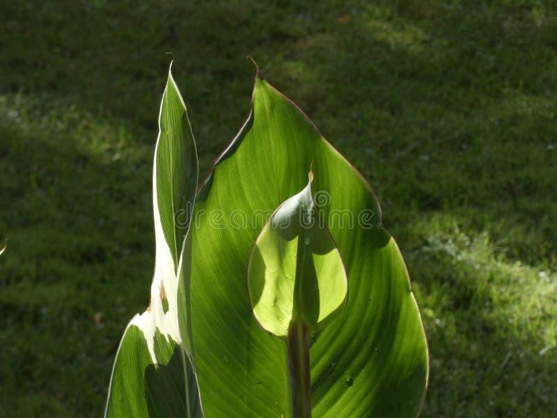 小绿色叶子照亮与早晨太阳 库存图片