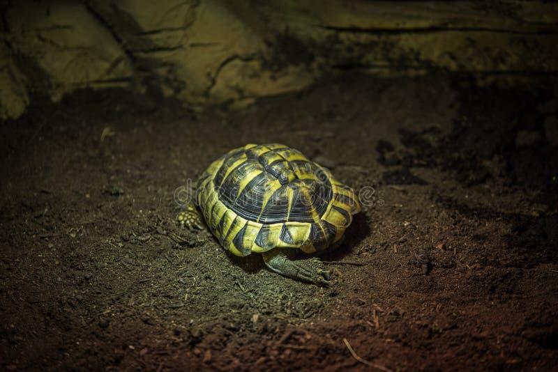 小绿色和黑乌龟 库存图片