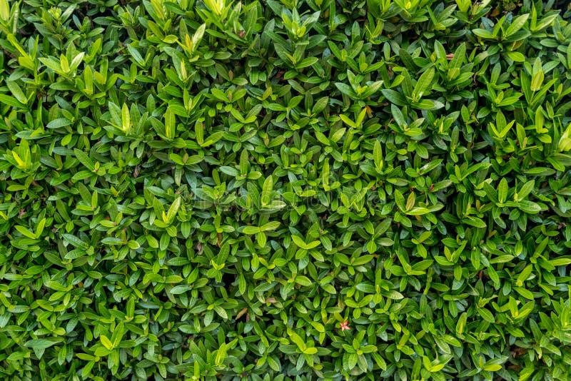 小绿色纹理留下墙壁背景 垂直的庭院的关闭 免版税库存图片