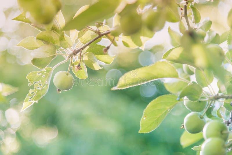 小绿色苹果和叶子在分支在春天有闪耀的日落的在背景中点燃 免版税库存照片