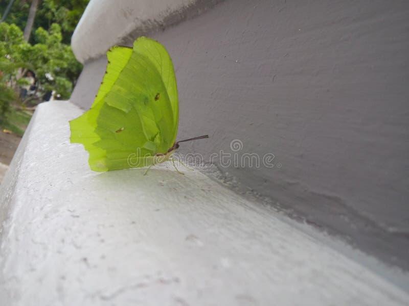 小绿色蝴蝶 免版税库存图片