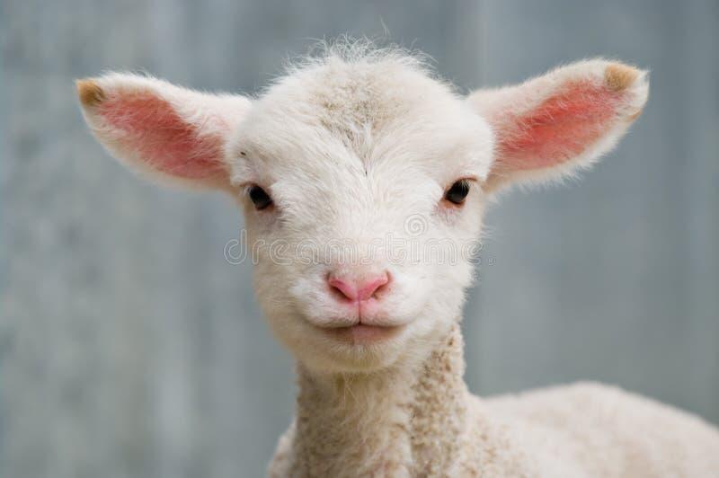 小羊羔年轻人 库存图片