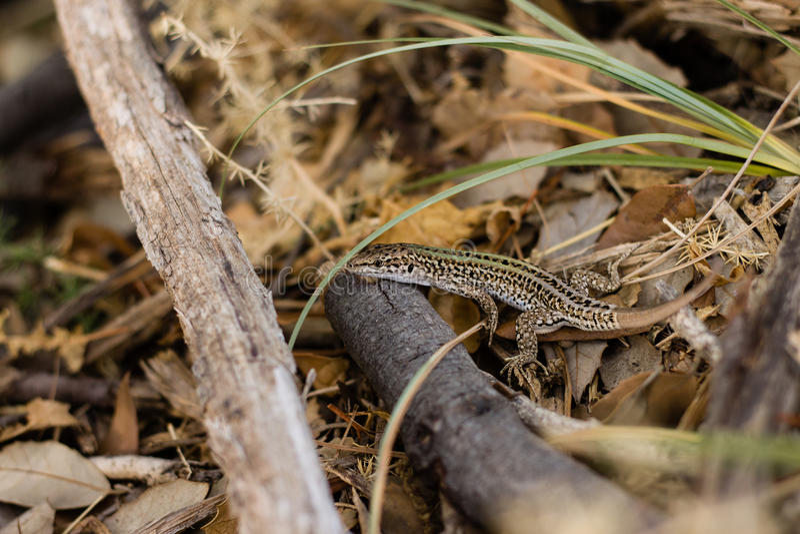 小美丽的蜥蜴在自然生态环境有被弄脏的背景 库存图片