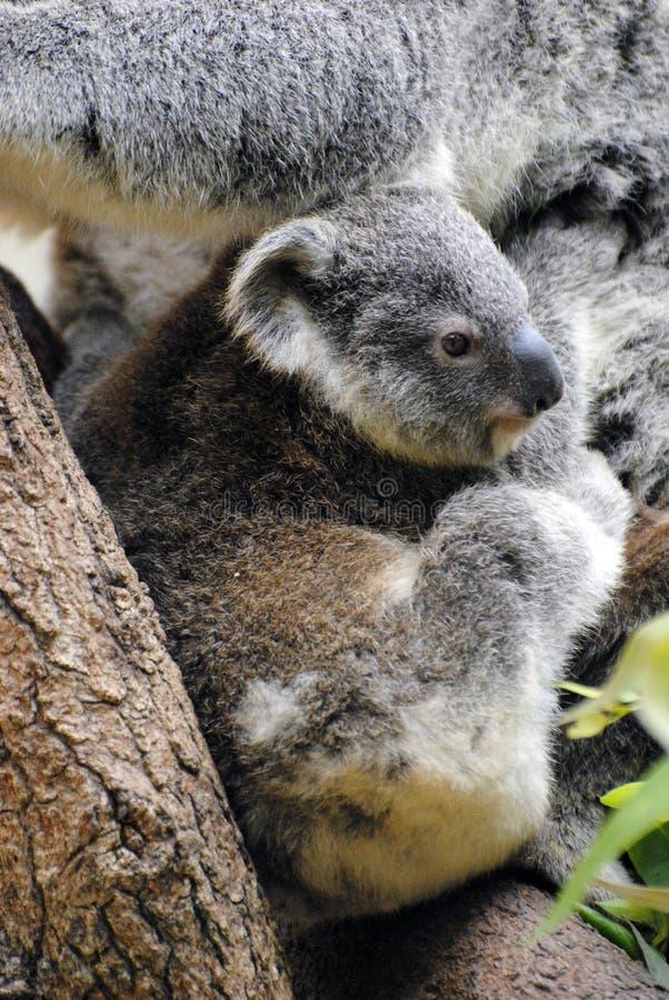小考拉在昆士兰 库存图片