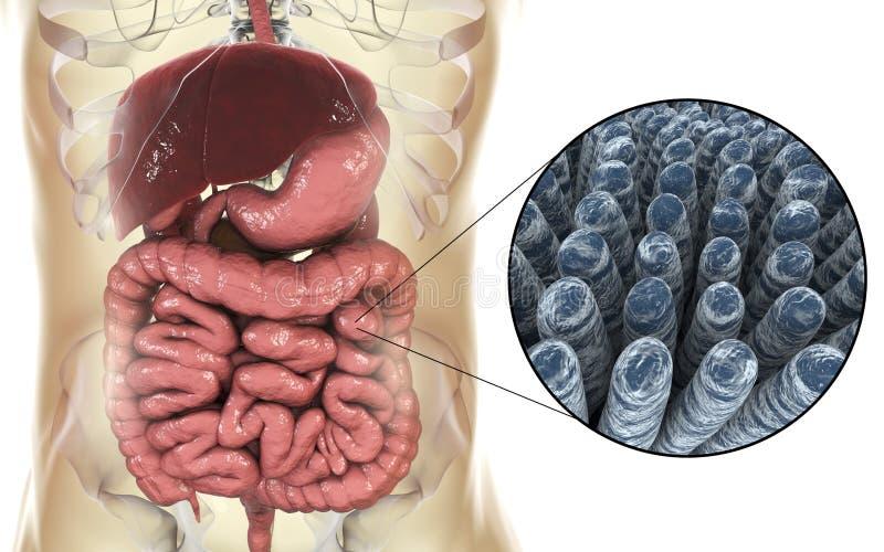 小肠解剖学和组织学 库存例证