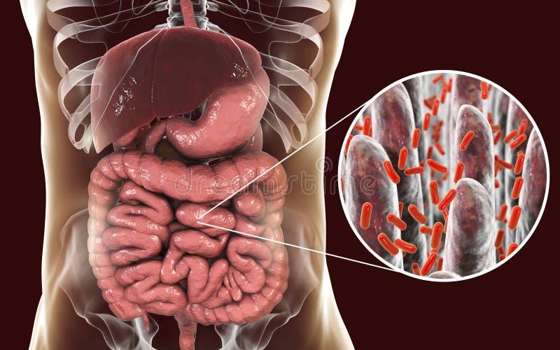 小肠microbiome、小肠绒毛特写镜头视图和伤寒的细菌 皇族释放例证