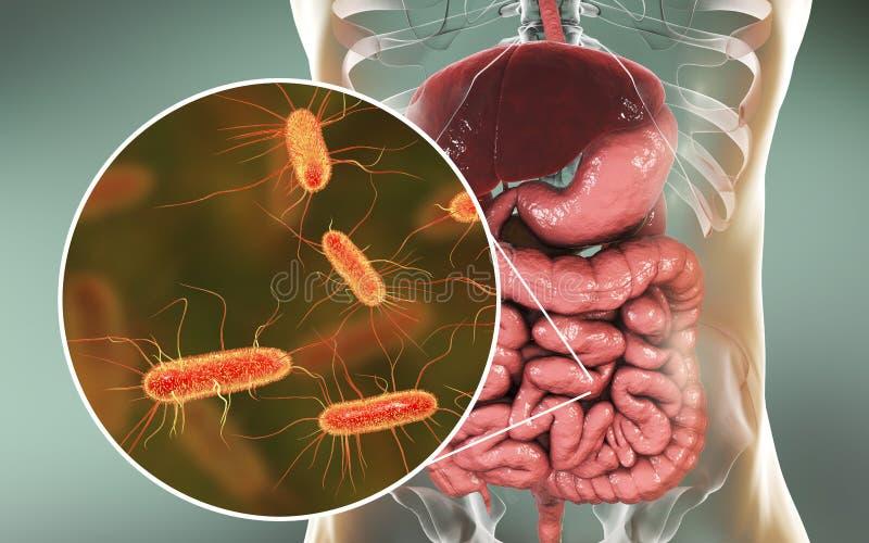 小肠microbiome,大肠埃希氏菌
