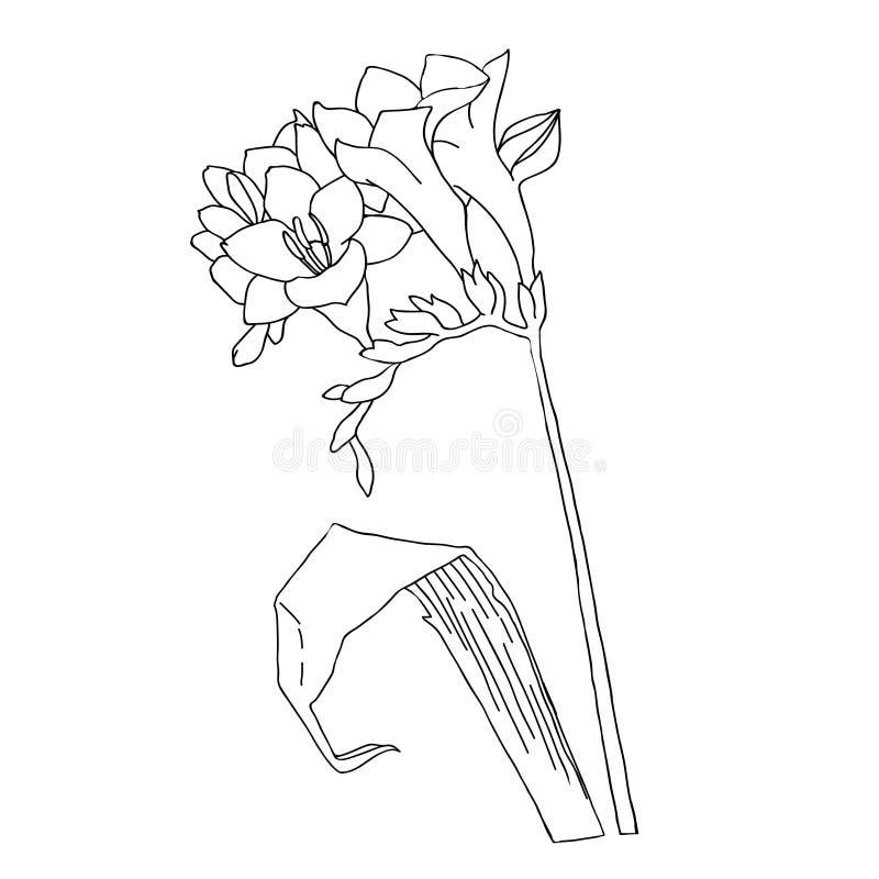 小苍兰 黑白的Amaryllis.Sketch 库存例证