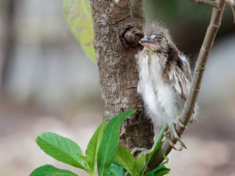 小苍鹭鸟坐树枝以后从巢落在树顶部 库存照片