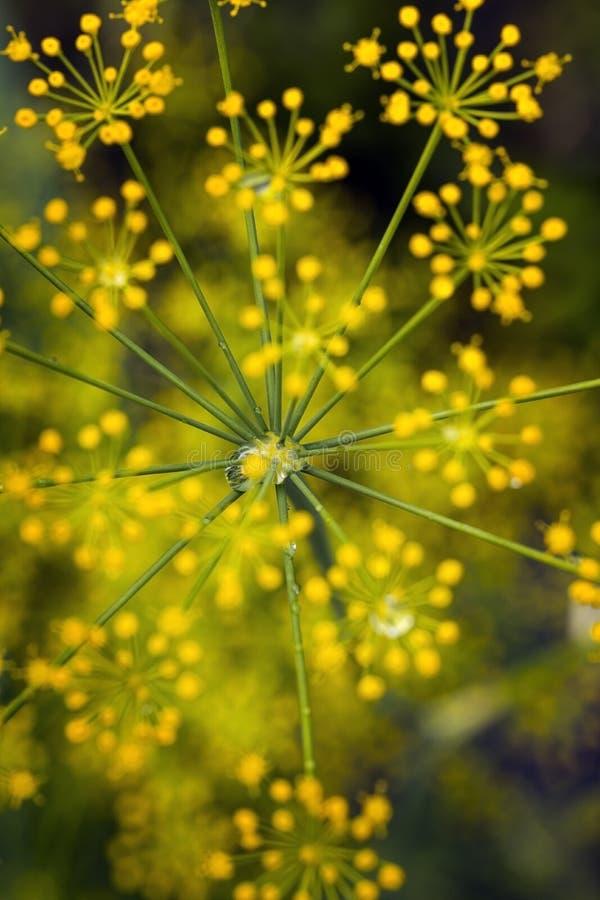 小茴香花和水下落 图库摄影