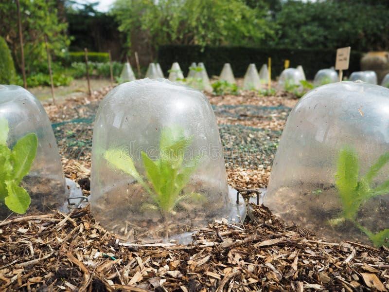 小莴苣行种植生长在DIY塑胶容器 库存图片