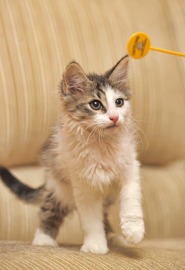 小蓬松小猫两个月使用 库存照片