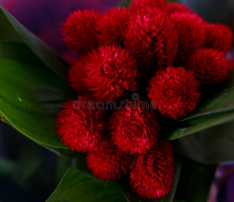 小蓬松红色花 图库摄影