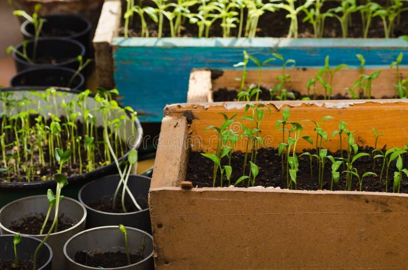 小蕃茄幼木。在箱子的新的绿色幼木 免版税库存照片
