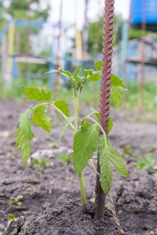 小蕃茄灌木在庭院里 r 库存照片