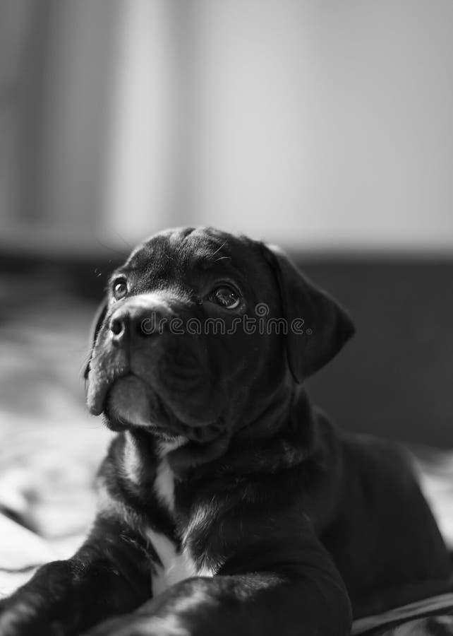 小藤茎Corso品种小狗 库存图片